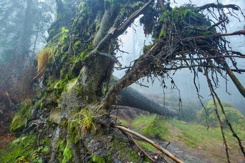 Duży wykorzeniający drzewo w lesie fotografia stock