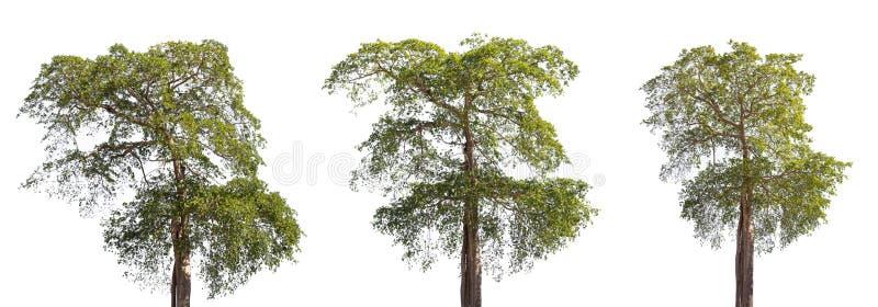 Duży wysoki zielony drzewny liść w lesie odizolowywającym na białym tle obrazy stock