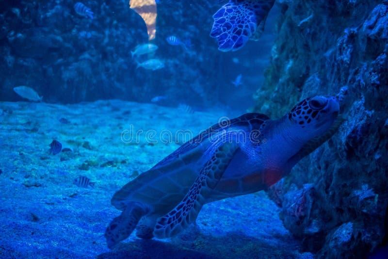 Duży zielony denny żółw w akwarium fotografia royalty free