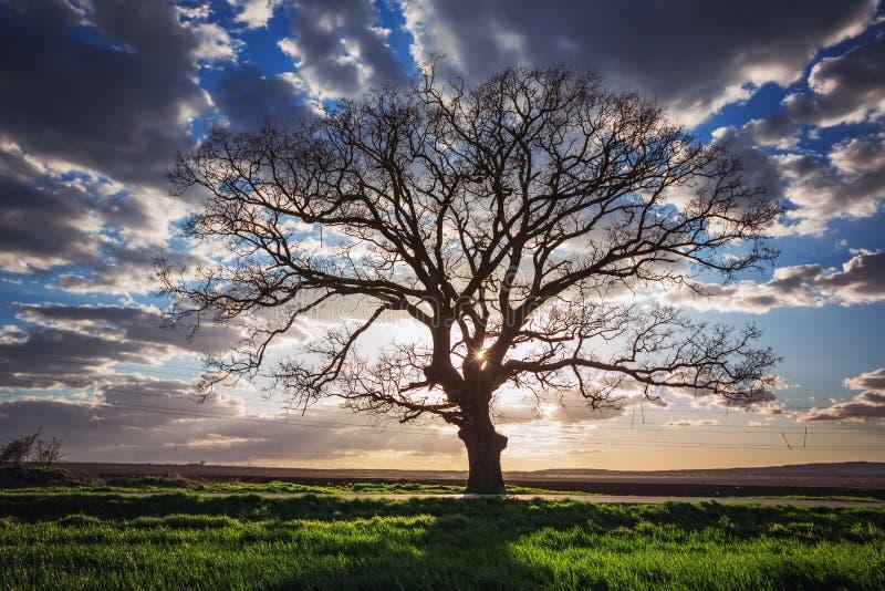 Duży zielony drzewo w zielonym polu, dramatyczne chmury, zmierzchu strzał obrazy royalty free