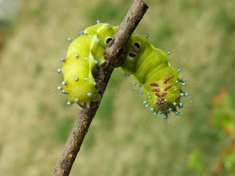 Duży zielony gąsienicowy pavonia saturnia obraz royalty free