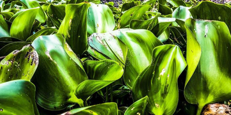 Duży zielony hiacynt zdjęcia stock
