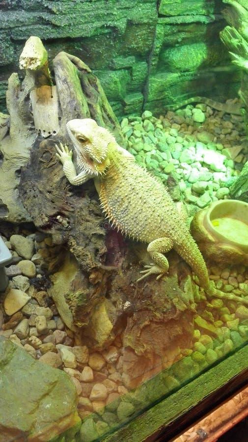 Duży zielony kameleon w terrarium zdjęcie royalty free