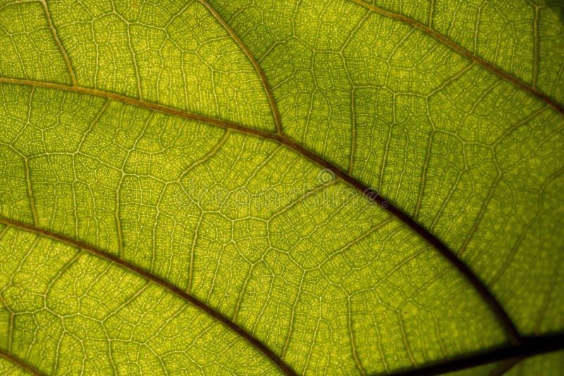 Duży zielony liść w makro- fotografii, zakończenie fotografia fotografia royalty free