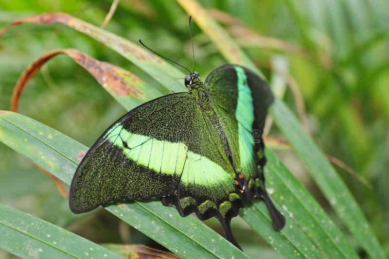 Duży zielony motyli Szmaragdowy Swallowtail od strony, Papilio palin zdjęcia stock