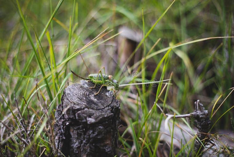 Duży zielony pasikonik na krzak gałąź makro- strzale zdjęcia royalty free