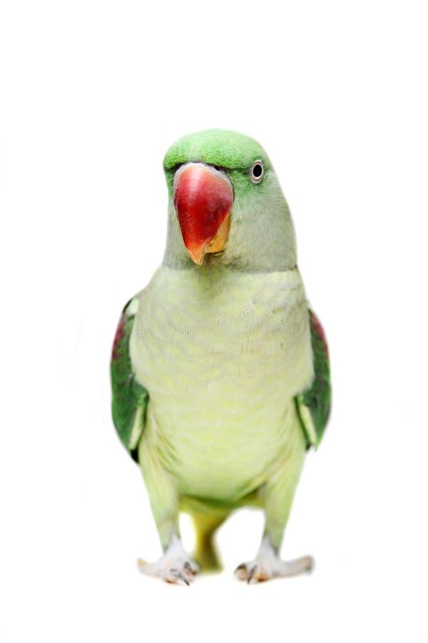 Duży zielony upierścieniony lub aleksandryn parakeet na bielu obrazy stock