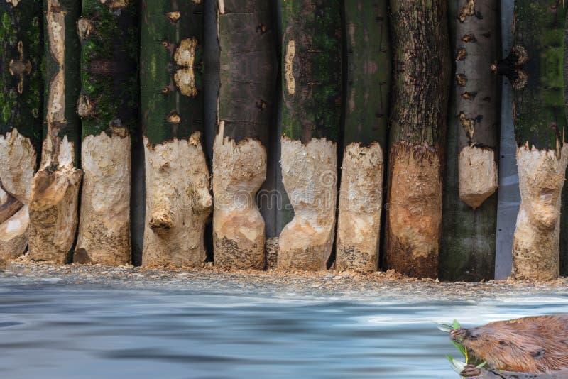 Du castor troncs d'arbre rongés images libres de droits