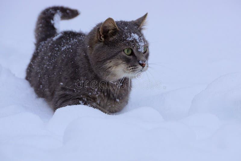 Download Dużego Kota Szarzy Stojaki W Snowdrift Obraz Stock - Obraz złożonej z północ, migreny: 106908159