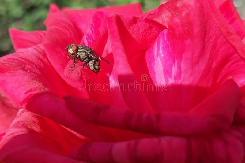 du?y kropli zieleni li?? makro- fotografii woda Rewolucjonistki r??a, kwiat Komarnica siedzi na płatku Kwiat struktura Południe,  obrazy royalty free