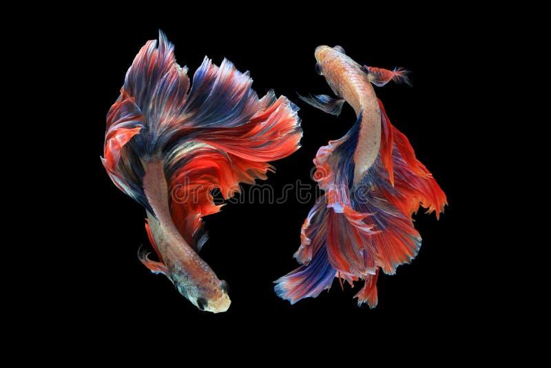 Dual betta fish. Isolated on black background. ( Mascot double tail ) Ballerina betta fish royalty free stock photo