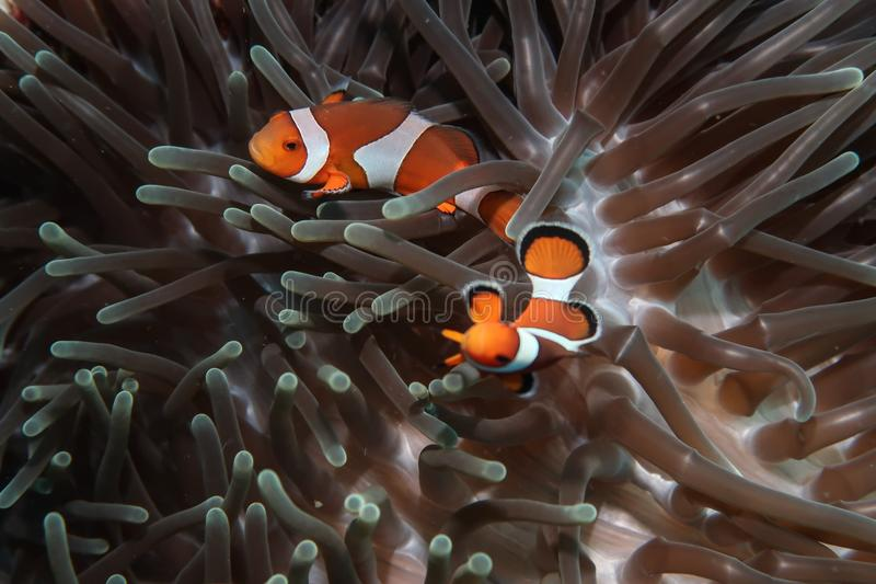 Dual clownfish in anemone home stock images