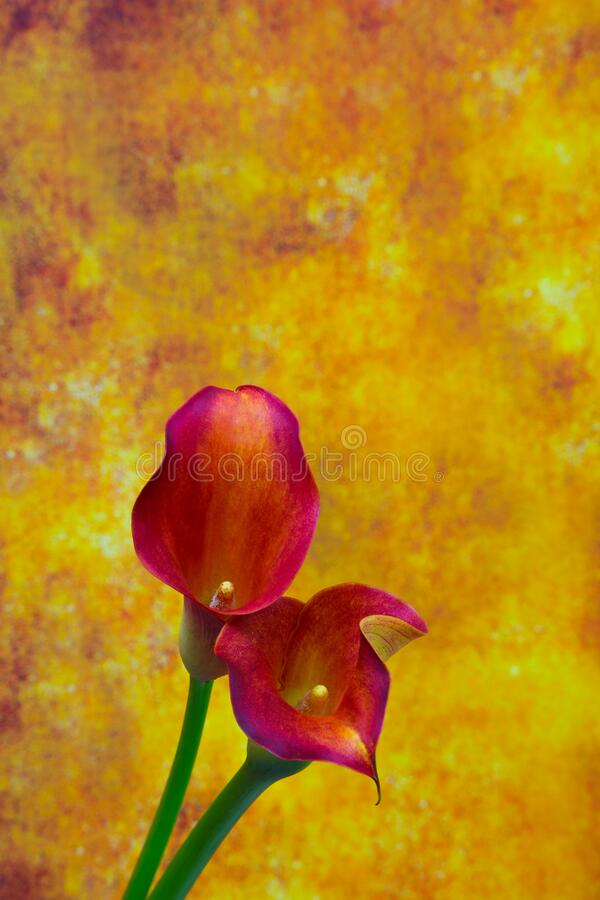 Dual color sensual calla lilies against abstract grunge background royalty free stock photo