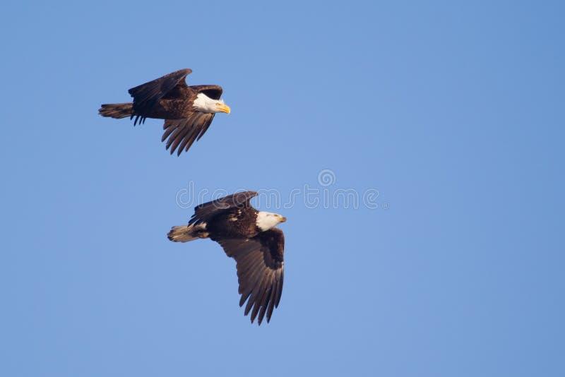 Duas águias americanas americanas em voo fotos de stock royalty free