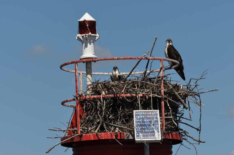 Duas águias de peixes no ninho imagem de stock royalty free