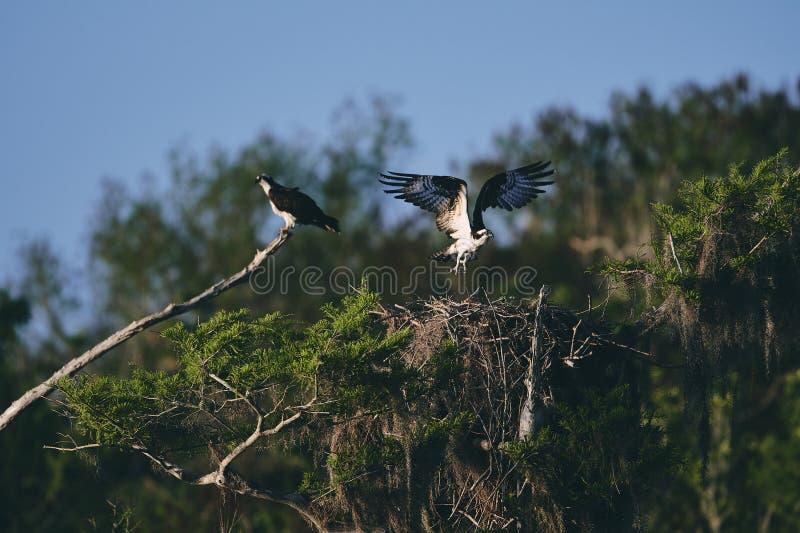 Duas águias, um voo fora de seu ninho e o outro que descansa em um ramo de árvore fotografia de stock royalty free