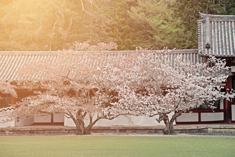 Duas árvores de sakura da flor de cerejeira no jardim japonês com manhã iluminam-se foto de stock royalty free