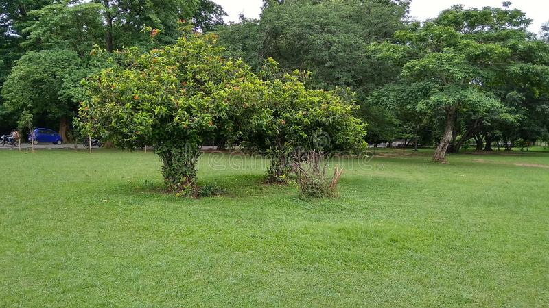Duas árvores verdes na cidade de Jamshedpur Jharkhand na Índia foto de stock royalty free