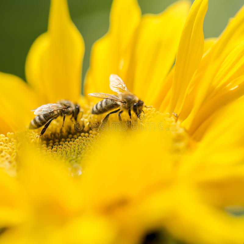 Duas abelhas do mel em um girassol amarelo imagem de stock