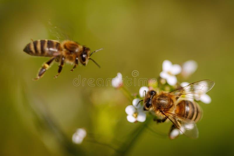 Duas abelhas em uma flor branca que recolhem o pólen e que recolhem o necta foto de stock