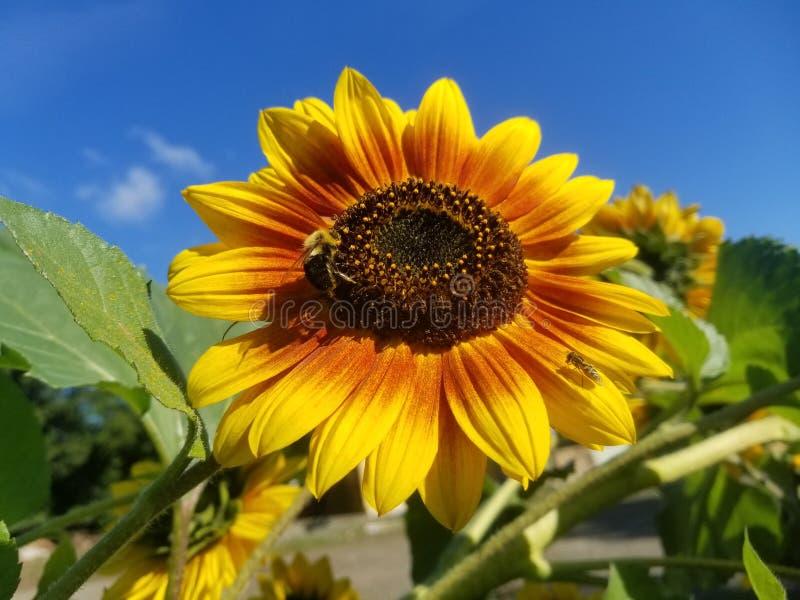 Duas abelhas na flor fotos de stock royalty free