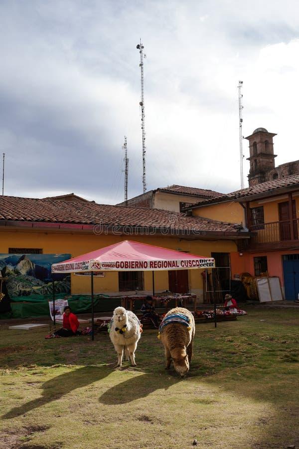Duas alpacas adoráveis estão o grasslan, e esperam turistas para tomar fotos com elas Há algumas decorações em sua parte traseira fotografia de stock