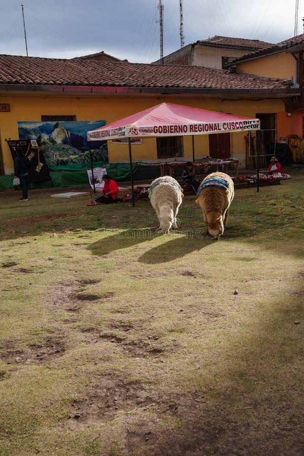 Duas alpacas adoráveis estão o grasslan, e esperam turistas para tomar fotos com elas Há algumas decorações em sua parte traseira fotografia de stock royalty free