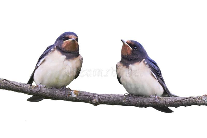 Duas andorinhas de celeiro que sentam-se em um ramo isolado fotografia de stock royalty free