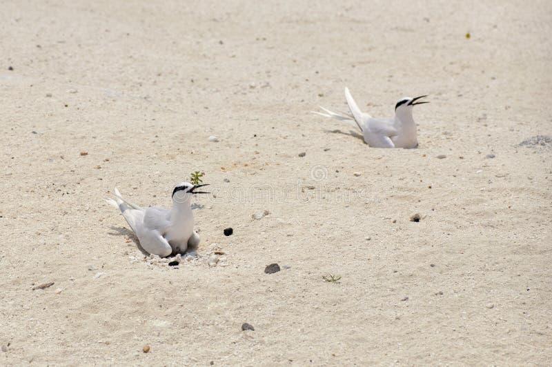 Duas andorinhas-do-mar que sentam-se em seus ovos na areia fotos de stock