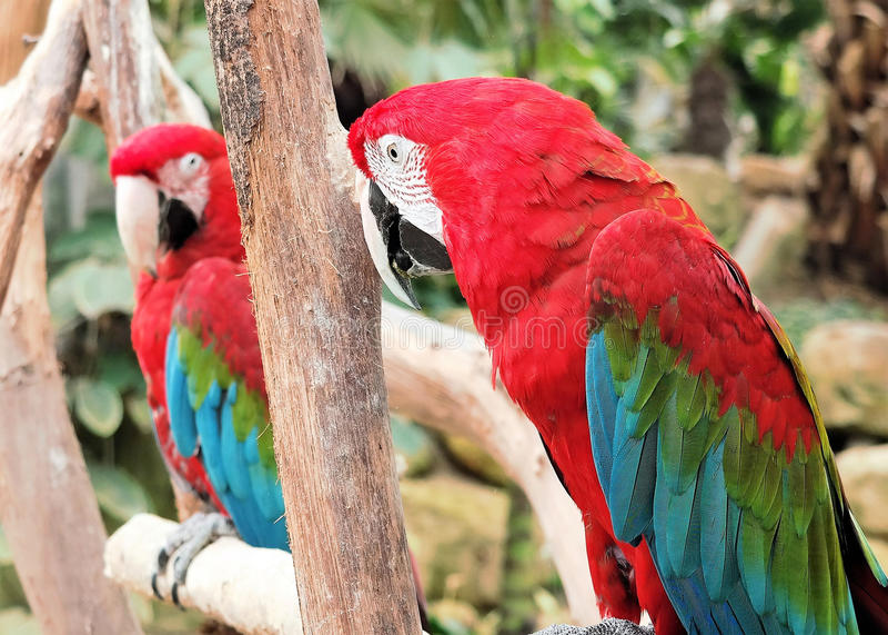 Duas araras bonitas (papagaios) fotografia de stock royalty free