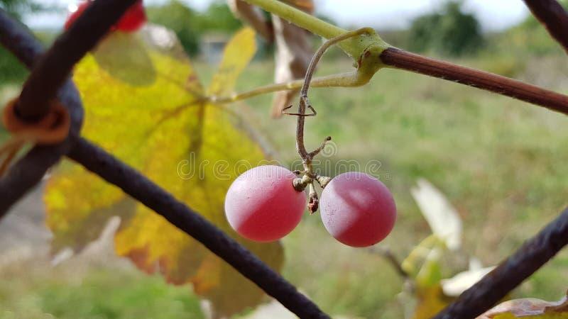 Duas bagas roxas grandes do close up da uva com fundo borrado A uva cor-de-rosa suculenta madura está pendurando na haste Crescim foto de stock royalty free