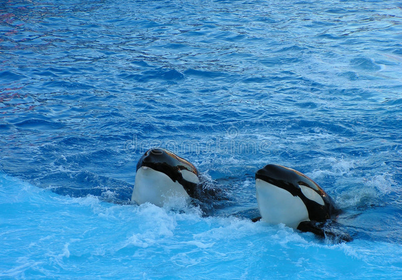 Duas baleias de assassino imagens de stock royalty free