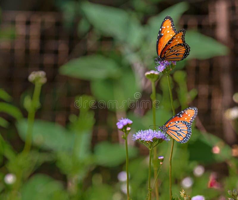 Duas borboletas da rainha em Nectar Flowers roxa no deserto do Arizona fotografia de stock royalty free