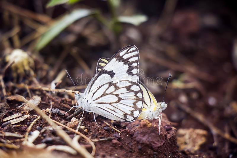 Duas borboletas que acoplam-se em seu habitat natural fotos de stock