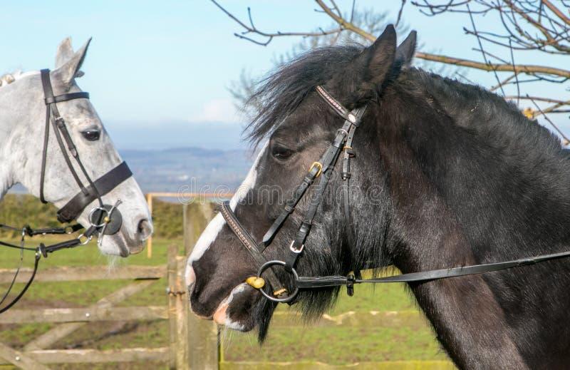 Duas cabeças de cavalos fotografia de stock