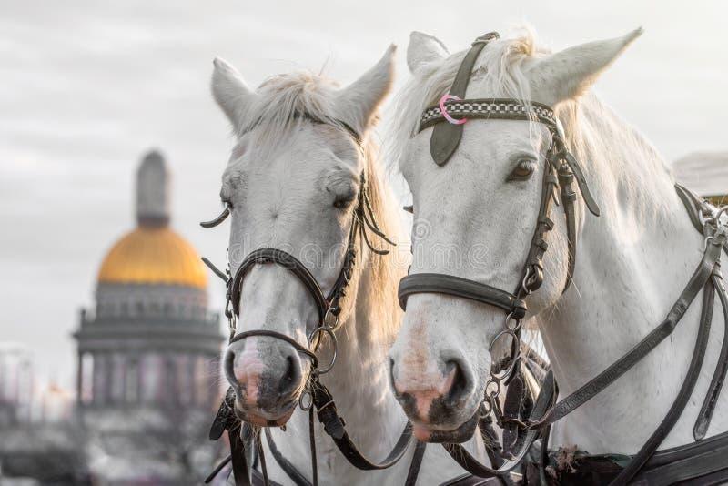 Duas cabeças dos cavalos brancos com uma juba em um chicote de fios em St Petersburg contra o contexto da catedral do ` s do St I foto de stock