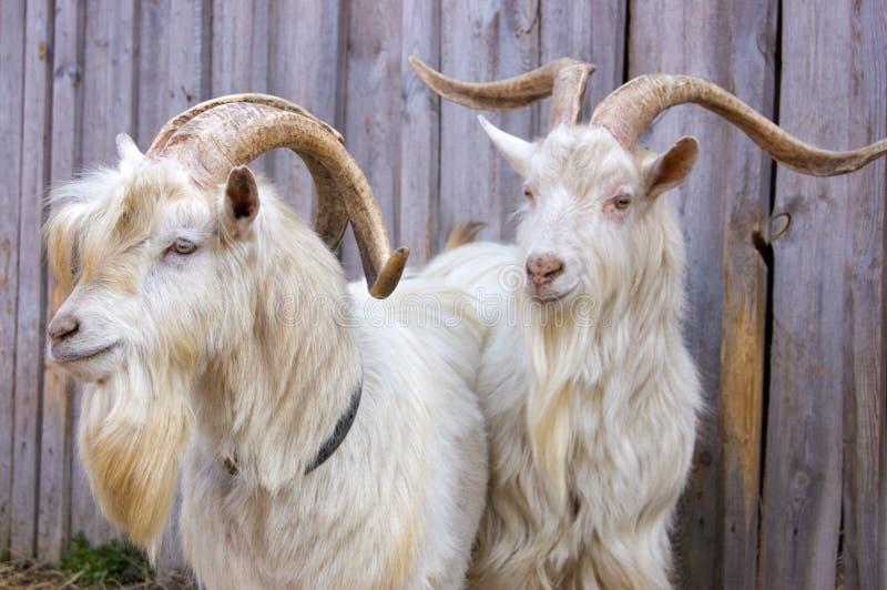 Duas cabras imagens de stock royalty free