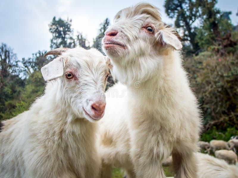 Duas cabras brancas com a floresta selvagem no fundo foto de stock royalty free