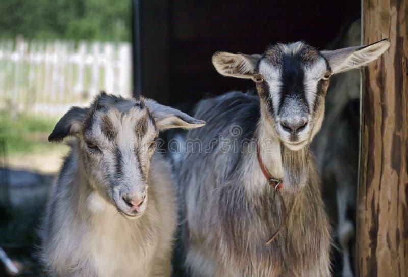Duas cabras do baby-sitter fotografia de stock royalty free