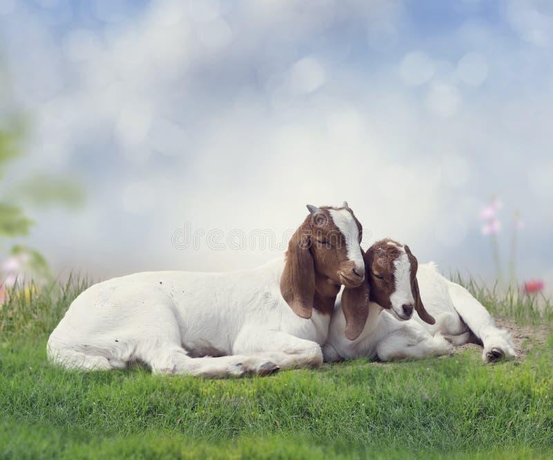 Duas cabras novas do Boer foto de stock