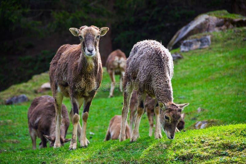 Duas cabras que comem a grama e que olham fixamente na câmera foto de stock royalty free