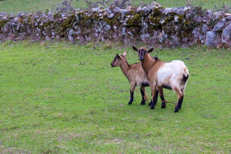 Duas cabras que pastam na grama fresca fotos de stock