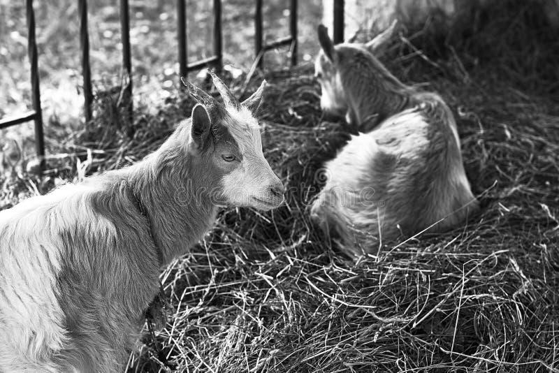 Duas cabras que sentam-se em hey em preto e branco foto de stock royalty free