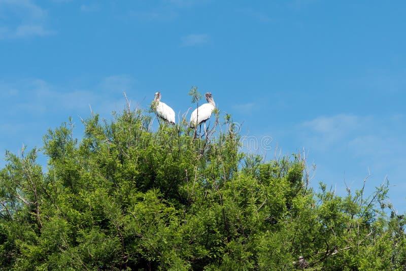 Duas cegonhas na árvore foto de stock