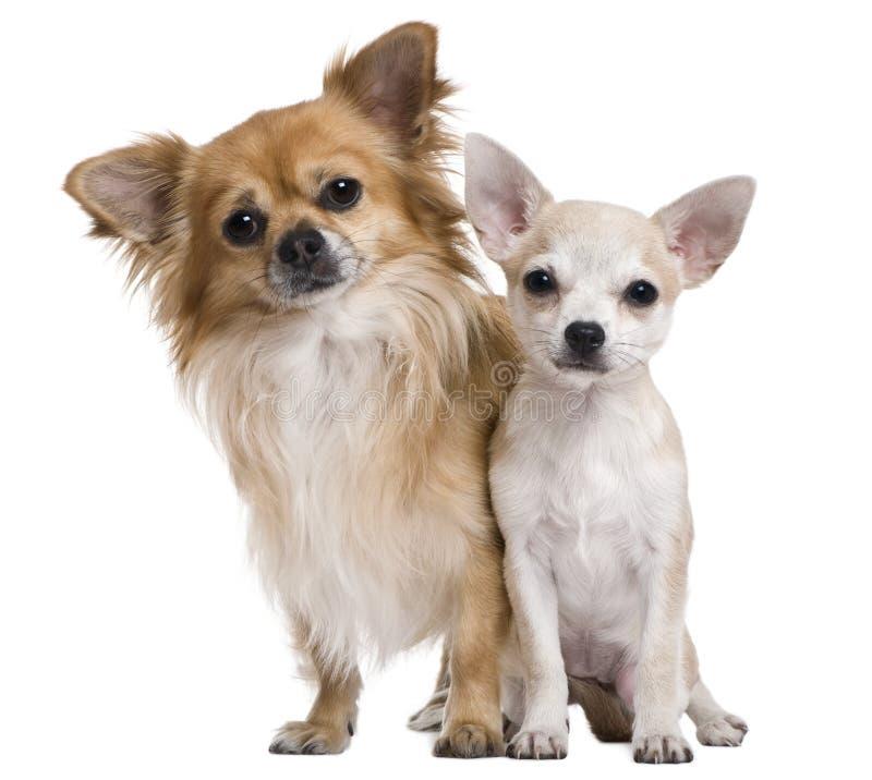 Duas chihuahuas, 3 anos velhos e filhote de cachorro de 5 meses imagens de stock