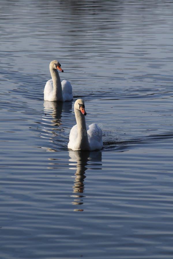 Duas cisnes foto de stock