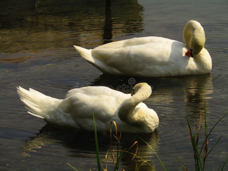 Duas cisnes bonitas em operações de limpeza fotos de stock royalty free