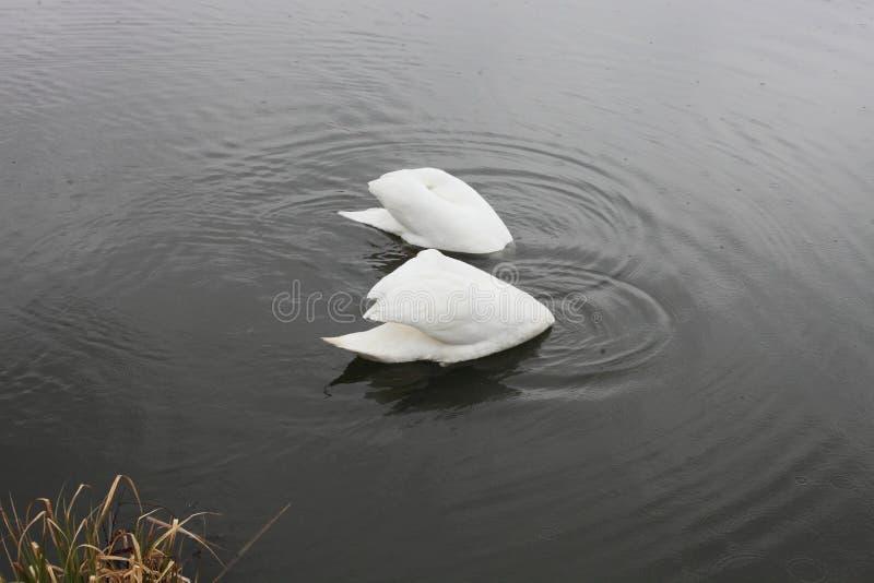 Duas cisnes brancas colaram suas cabeças na água fotos de stock royalty free