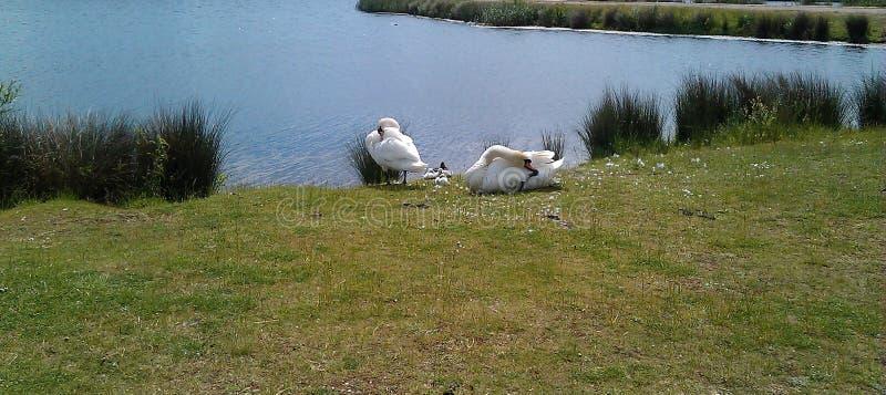 Duas cisnes brancas com sinetes imagens de stock