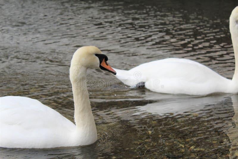 Duas cisnes brancas em um lago pequeno fotografia de stock